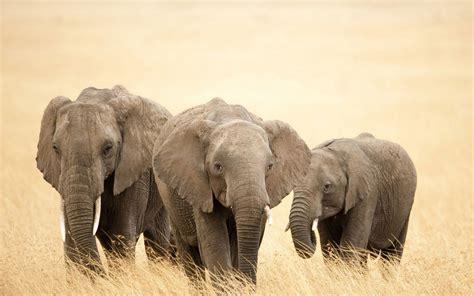 elephant wallpaper for pc elephants wallpapers world top best hd desktop wallpapers