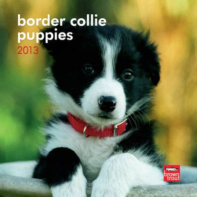 miniature border collie puppies the gallery for gt mini collie