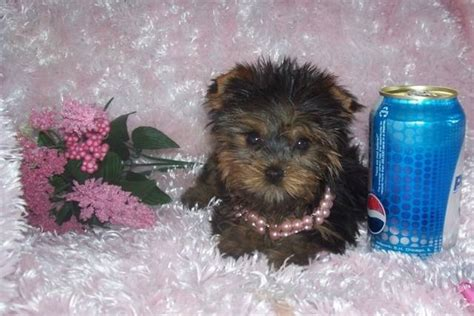 teacup yorkie nj legit tea cup yorkies for re homing for sale adoption from newark new jersey essex