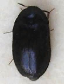black carpet beetle attagenus unicolor bugguide net