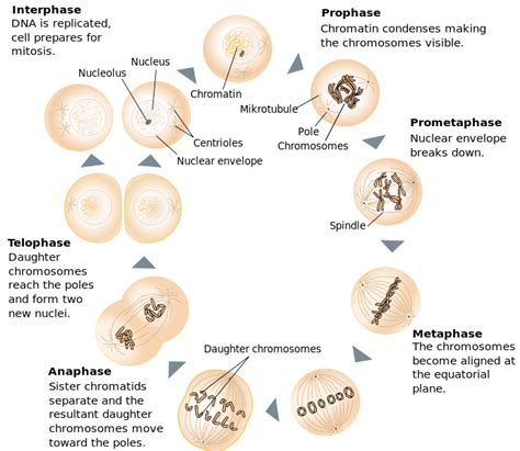 mitosis cycle diagram file mitosis schematic diagram en svg wikimedia commons