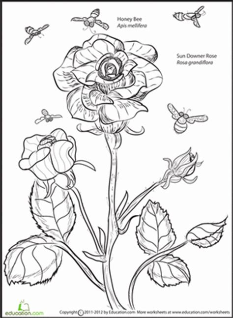 rose and bee worksheet education com
