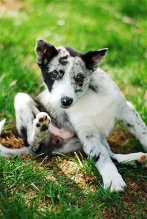 koolie puppies koolie on photos blue merle and cattle dogs