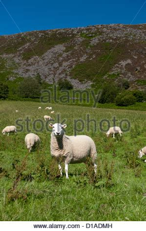 hardy breed of welsh mountain sheep feeding from a food