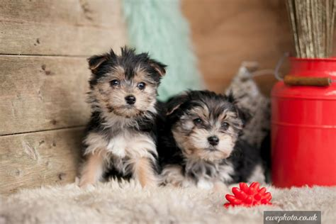 teacup yorkie puppies for sale in macon ga teacup maltese yorkie mix for sale image search results pomsky breeds picture
