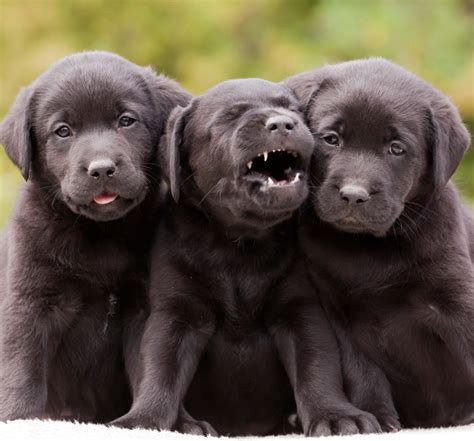 how many puppies do labs buying a labrador puppy