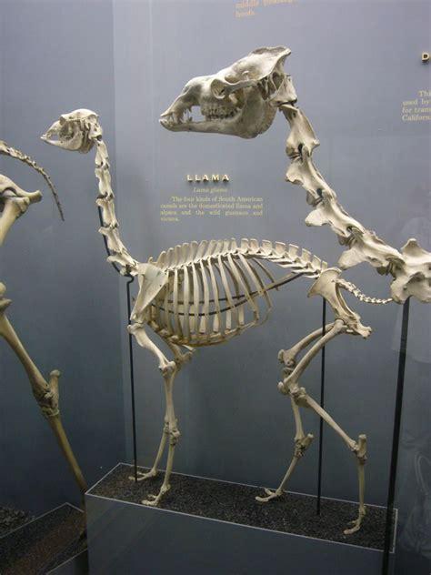 llamas dinosaur fossils skeleton llama