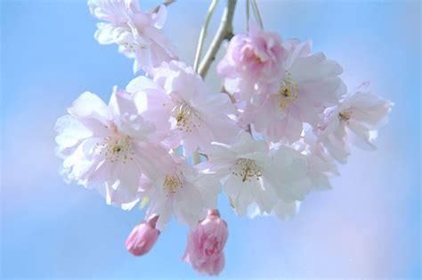 wallpaper bunga sakura di jepang kumpulan gambar bunga sakura newhairstylesformen2014 com