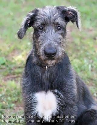 wolfhound puppies for sale near me 171 best images about puppydoodles on