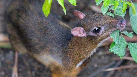 javan chevrotain information  marwell  zoo