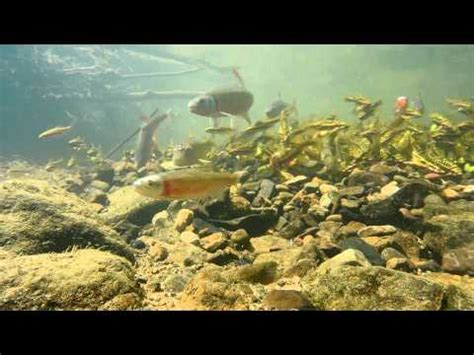 patterns in nature documentary a spawning aggregation in a bluehead chub nest brandon