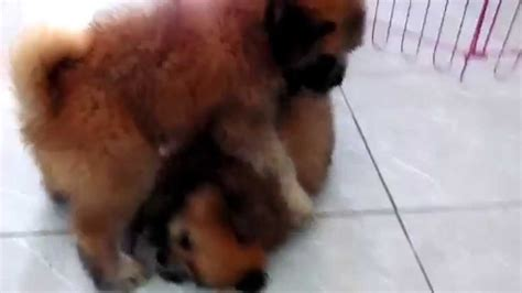 shih tzu and chow mix chichi choco shih tzu chow chow mix and moon the beagle funnydog tv