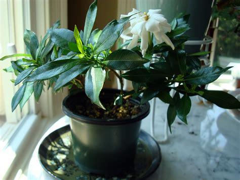 gardenia jasminoides radican fragrant gardening