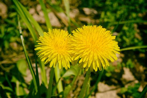 dandelion facts dandelion facts 28 images 10 facts about dandelions