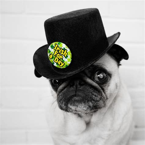 pugs with hats 1000 ideas about happy birthday pug on pug and pugs
