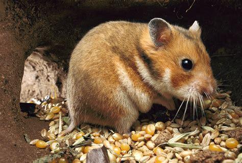 Makanan Hamster Golden Hamster your hamster may surprising origins national geographic