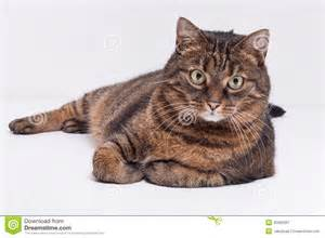 Large Adult Tabby Cat Laying On Side. Isolated On White ...