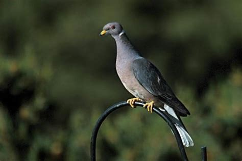 band tailed pigeons dying in california but cause remains