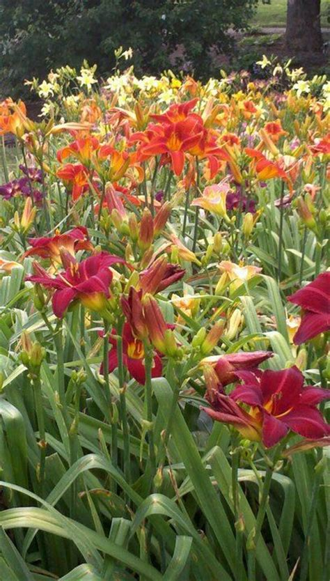 Daylilies For Shade Daylily Gardens Work Well In Semi Shade Use Daylilies On