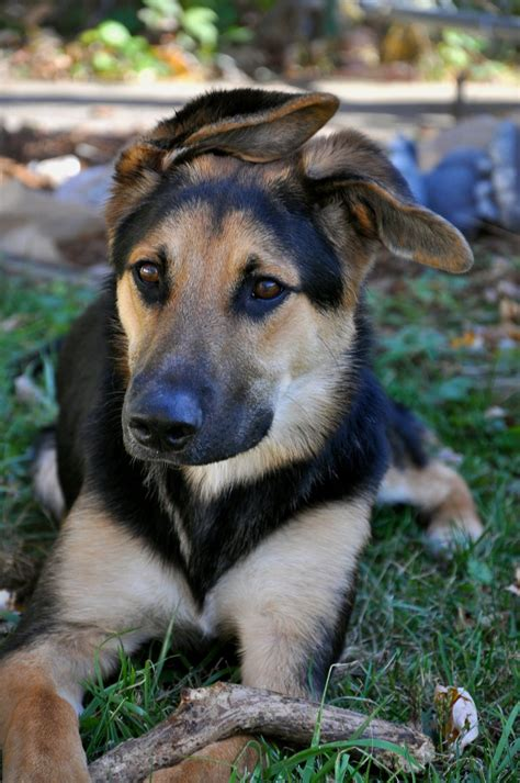 German Shepherd Mixed With Lab For Sale » Home Design 2017