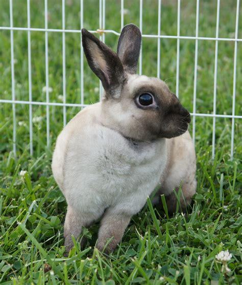 Baby Rabbit Id 7 mini rex bunny rabbits located in pocatello id