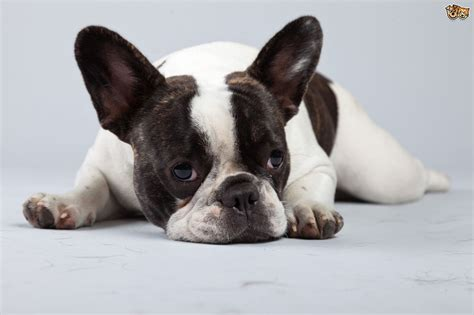 The health challenges of the French bulldog   Pets4Homes