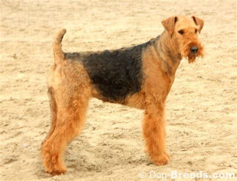 airedale puppy airedale terrier pictures and informations breeds