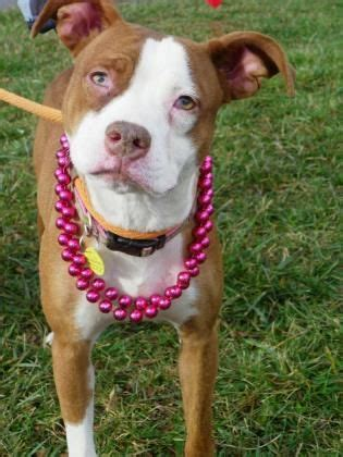 cleveland adoption 100 best images about cleveland kennel dogs transferred to rescue on