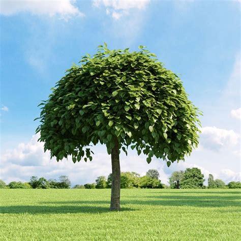 piccoli alberi da giardino albero dei sigari catalpa bungei catalpa bungei