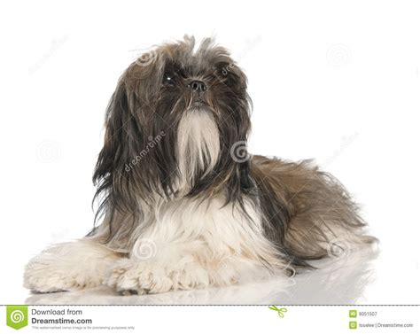 1 month shih tzu puppy shih tzu puppy 8 months royalty free stock photography image 9051507