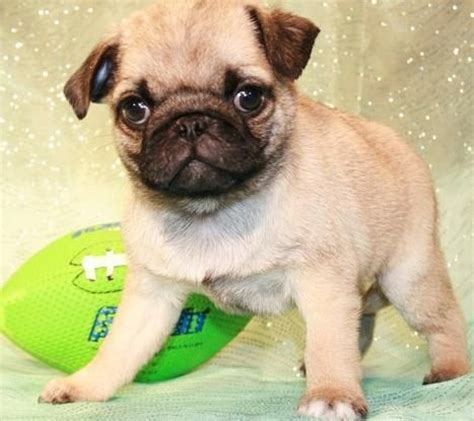 adopt a pug puppy for free lovely pug puppies for free adoption