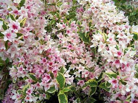 variegated shrub with pink flowers variegated weigela garden plant deciduous shrubs