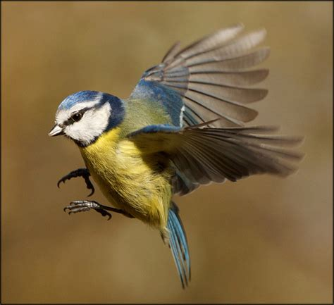 blue tit in flight flickr photo sharing