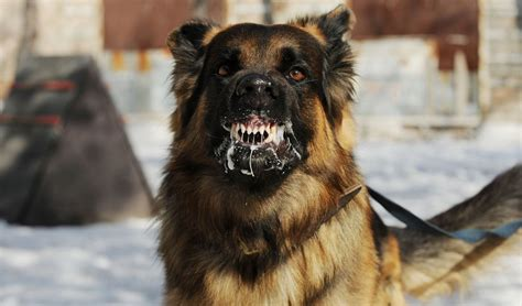 most aggressive dogs 20 most dangerous dogs breeds that are known for aggression