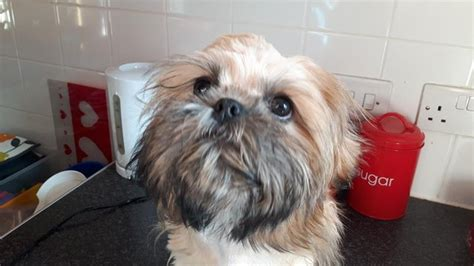 can shih tzu eat fish 4 month shih tzu pup 1001doggy
