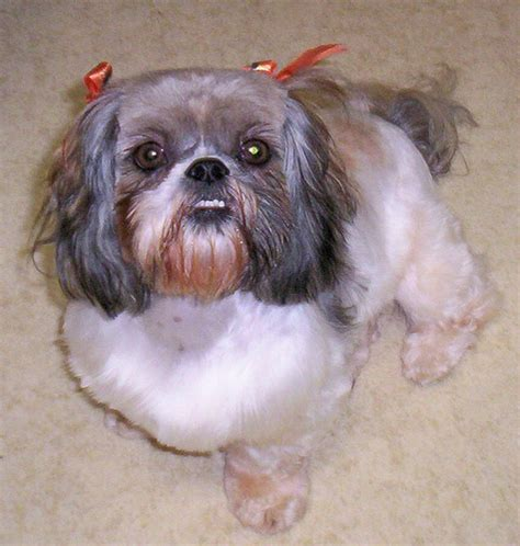 shih tzu teeth problems shih tzu teeth agatha and crooked teeth flickr photo shih tzu origin
