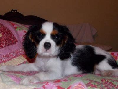 cavalier puppies for adoption gorgeous cavalier king charles puppies available for adoption