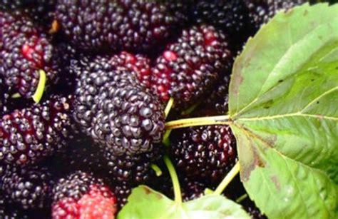 Harga Bibit Bawang Merah Maret 2017 harga buah arbei per kg terbaru maret 2019 hargabulanini