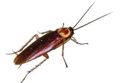 scarafaggi volanti scarafaggi