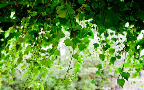 houseplant vine green seductive wallpaper green leaves on a vine plant