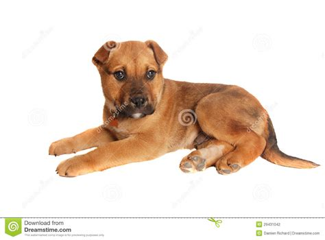 puppy laying puppy laying stock photography image 29431042