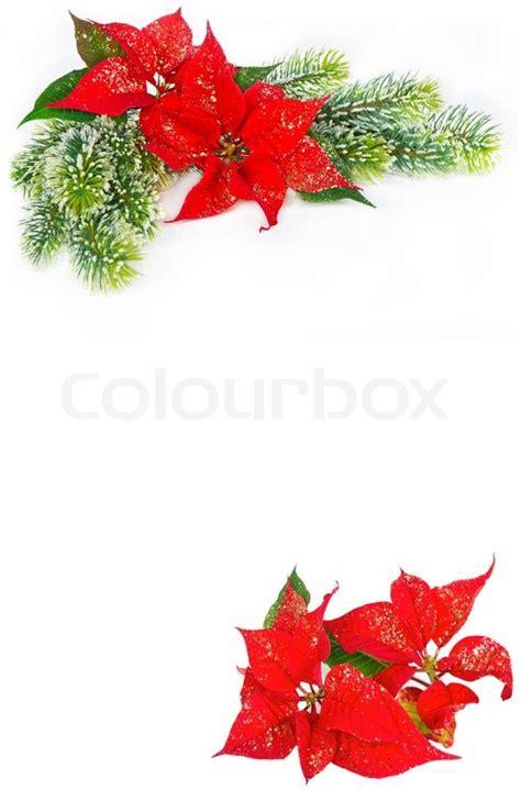 festive background  christmas flower poinsettia stock photo colourbox