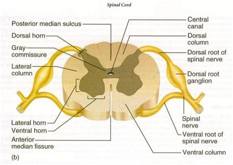 cross section of the spinal cord labeled the spinal cord structure of the spinal cord