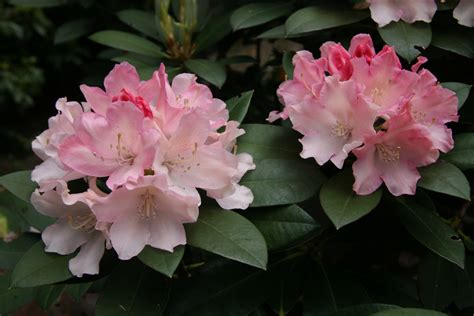 Rhododendron Golden Torch 3807 by Rhododendron Golden Torch Rcmg Rhododendrons All