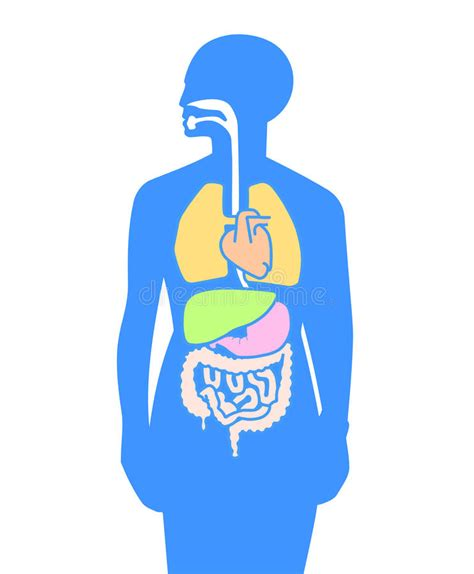 interno corpo umano corpo umano degli organi interni illustrazione vettoriale