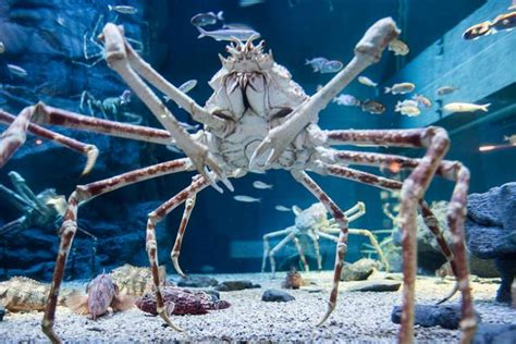Types Of Aquarium by Kreature Feature Giant Spider Crab Blog Two Oceans