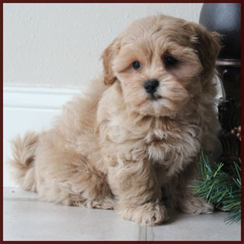 shichon puppies for sale in ga teacup shichon puppies for sale breeds picture
