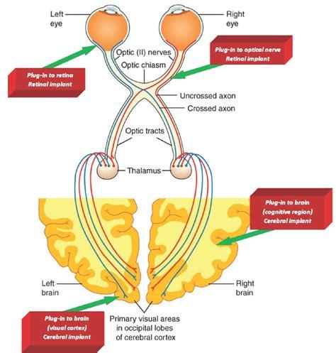 visual cortex diagram visual pathway diagram visual get free image about