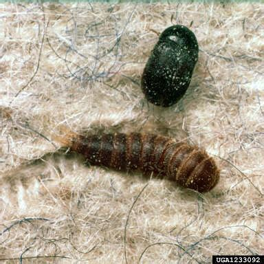 bug na rug carpet beetles and their