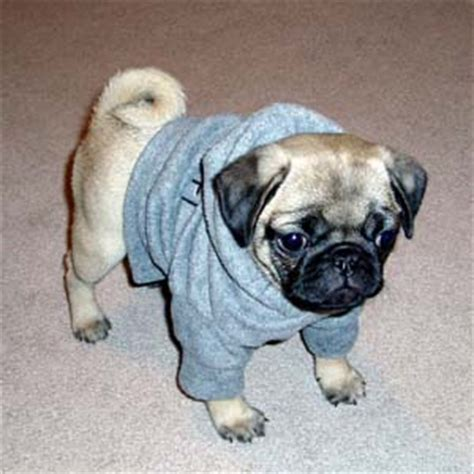 pug age pug photos pictures pugs page 3